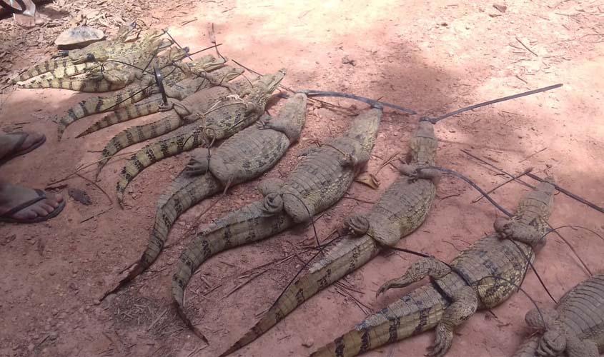 Jacarés são soltos na natureza após resgate de cativeiro
